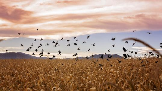cornstalks-and-crows-linda-storm
